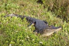 Alligatore americano che prende il sole nella Florida sole- Fotografie Stock