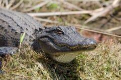 Alligatore americano che prende il sole, riserva del cittadino della palude di Okefenokee Immagine Stock Libera da Diritti