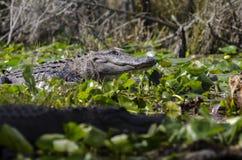 Alligatore americano che prende il sole sul ceppo, riserva del cittadino della palude di Okefenokee Fotografia Stock