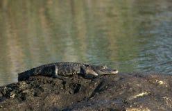 Alligatore americano che riscalda sulla roccia Immagine Stock