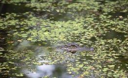Alligatore americano che si apposta nel ramo paludoso di fiume basso Immagine Stock Libera da Diritti