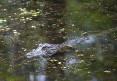 Alligatore americano che si apposta nel ramo paludoso di fiume basso Fotografie Stock