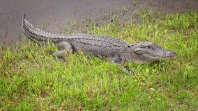 Alligatore americano che si espone al sole sulla banca di un canale Fotografie Stock