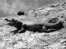 Alligatore americano che si trova al fiume, Sudamerica Fotografia Stock