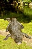Alligatore americano dall'acqua Fotografie Stock