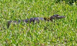 Alligatore americano del bambino Fotografie Stock Libere da Diritti
