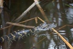 Alligatore americano del bambino con le ondulazioni e le canne Fotografia Stock Libera da Diritti