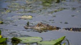 Alligatore americano del bambino, riserva del cittadino della palude di Okefenokee Fotografia Stock Libera da Diritti
