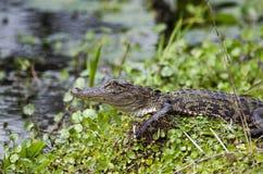 Alligatore americano del bambino, riserva del cittadino della palude di Okefenokee Immagine Stock
