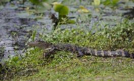 Alligatore americano del bambino, riserva del cittadino della palude di Okefenokee Immagine Stock Libera da Diritti
