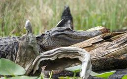 Alligatore americano del grande toro, riserva del cittadino della palude di Okefenokee Immagine Stock