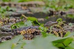 Alligatore americano di Juvenlie, riserva del cittadino della palude di Okefenokee Fotografie Stock