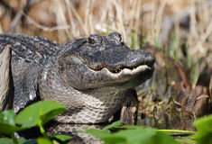 Alligatore americano di Lareg, riserva del cittadino della palude di Okefenokee Fotografia Stock