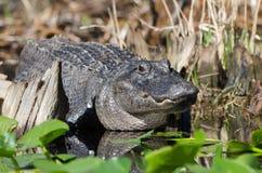 Alligatore americano di Lareg, riserva del cittadino della palude di Okefenokee Immagini Stock Libere da Diritti