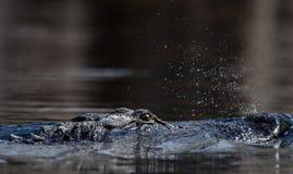 Alligatore americano di nuoto, riserva del cittadino della palude di Okefenokee Fotografia Stock Libera da Diritti