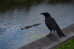 Alligatore americano e corvo Fotografie Stock Libere da Diritti