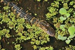 Alligatore americano giovanile Immagine Stock