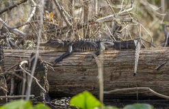 Alligatore americano giovanile che espone al sole sul ceppo, riserva del cittadino della palude di Okefenokee Fotografia Stock Libera da Diritti