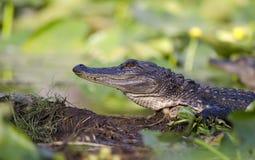 Alligatore americano giovanile, riserva del cittadino della palude di Okefenokee Immagine Stock