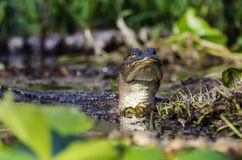 Alligatore americano giovanile, riserva del cittadino della palude di Okefenokee Fotografie Stock
