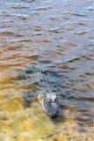 Alligatore americano in lago tropicale Immagine Stock