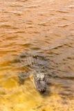 Alligatore americano in lago tropicale Immagini Stock Libere da Diritti