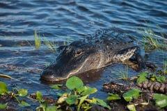 Alligatore americano A mississippiensis Fotografie Stock