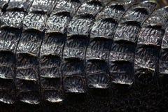 Alligatore americano A mississippiensis Immagini Stock Libere da Diritti