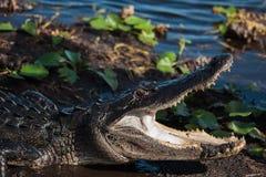 Alligatore americano A mississippiensis Fotografia Stock