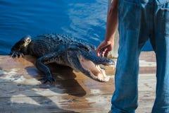 Alligatore americano A mississippiensis Fotografia Stock Libera da Diritti