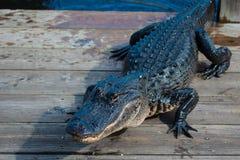 Alligatore americano A mississippiensis Immagine Stock Libera da Diritti