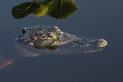 Alligatore americano & x28; mississippiensis& x29; Immagini Stock
