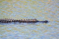 Alligatore americano & x28; mississippiensis& x29; Immagine Stock Libera da Diritti