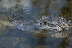 Alligatore americano nei terreni paludosi di Florida Immagini Stock Libere da Diritti