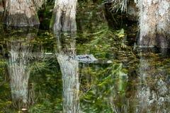 Alligatore americano nei terreni paludosi di Florida Immagine Stock Libera da Diritti