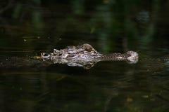 Alligatore americano nell'acqua Fotografia Stock Libera da Diritti