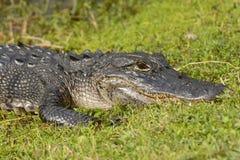Alligatore americano nella zona umida Fotografie Stock Libere da Diritti