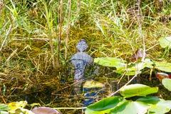 Alligatore americano nella zona umida di Florida Parco nazionale dei terreni paludosi in U.S.A. Immagine Stock