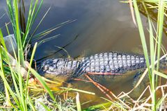 Alligatore americano nella zona umida di Florida Parco nazionale dei terreni paludosi in U.S.A. Fotografia Stock Libera da Diritti