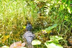Alligatore americano nella zona umida di Florida Parco nazionale dei terreni paludosi in U.S.A. Fotografie Stock Libere da Diritti