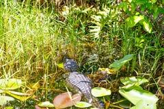 Alligatore americano nella zona umida di Florida Parco nazionale dei terreni paludosi in U.S.A. Immagine Stock Libera da Diritti