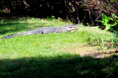Alligatore americano nelle zone umide di Florida Fotografia Stock
