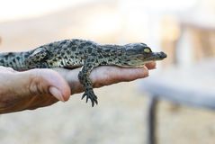 Alligatore americano neonato Fotografie Stock Libere da Diritti
