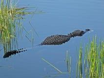 Alligatore americano o alligator mississippiensis Immagini Stock