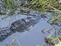 Alligatore americano o alligator mississippiensis Immagine Stock Libera da Diritti