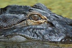 Alligatore americano in ombra Fotografia Stock Libera da Diritti