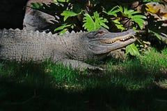 Alligatore americano in ombra Immagine Stock Libera da Diritti