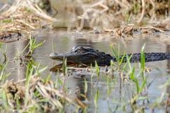 Alligatore americano, riserva del cittadino della palude di Okefenokee Immagini Stock Libere da Diritti