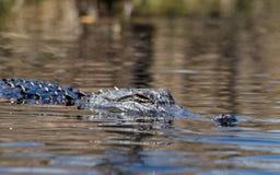 Alligatore americano, riserva del cittadino della palude di Okefenokee Immagine Stock Libera da Diritti