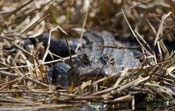 Alligatore americano, riserva del cittadino della palude di Okefenokee Immagine Stock
